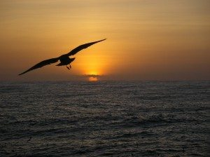 A_sea_bird_observed_flying_towards_the_sunset_during_2004_Pacifc_Whiting_Fishery_survey_1536-300x224